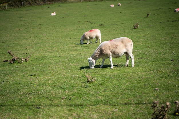 放牧野の羊