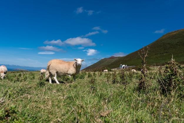 草をはむ羊の写真