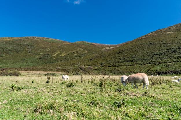 。羊の動物の風景草原牧場
