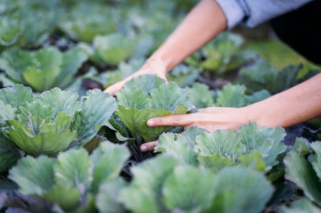 Руки женщины собирают капусту