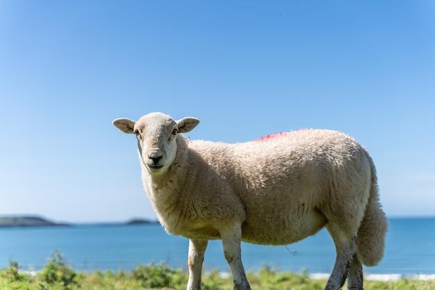 野原と牧草地の羊