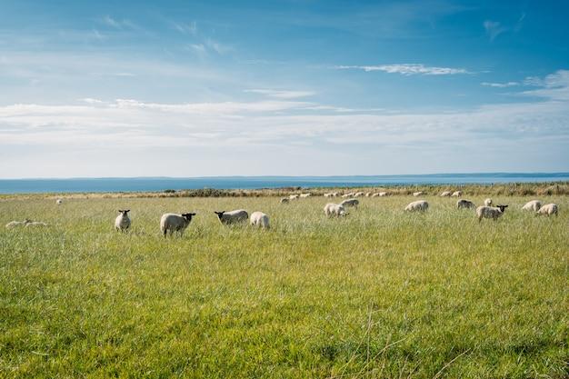 芝生のフィールドで羊のグループ、