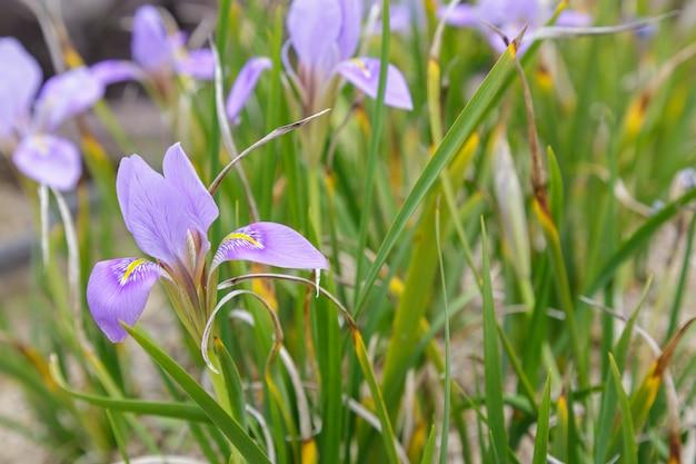 アルジェリアのアイリスの花