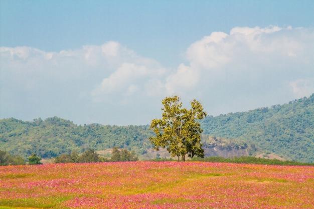 コスモスの花の畑の風景
