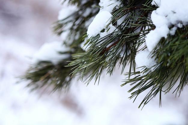 冬の森。雪の中でモミの木。