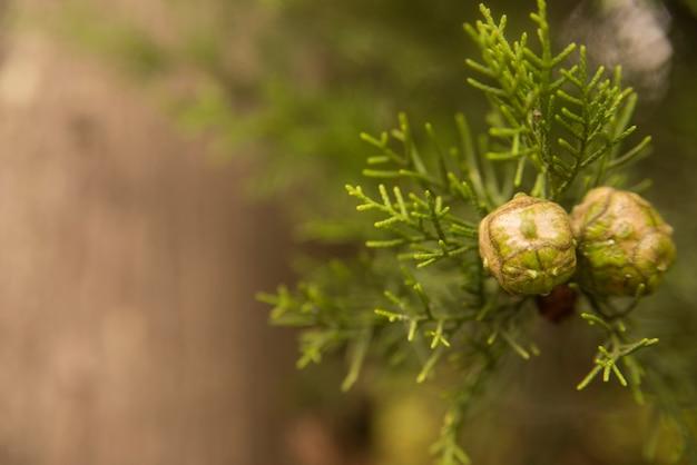 地中海性のヒノキ - 枝の上にコウキクサ