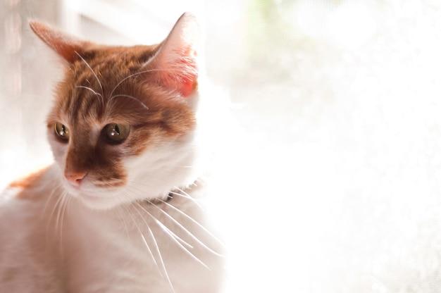 美しい猫の肖像画。黄色の目を持つ猫。見る者に広告とテキストのための空間を凝視している女性の猫