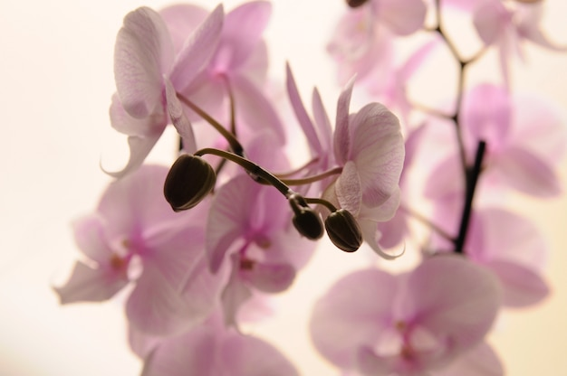 明るい背景に白い蘭のクローズアップ。胡蝶蘭ストライプ孤立した。白い背景に鉢の中のピンクの蘭。愛と美のイメージ。自然の背景とデザイン要素。