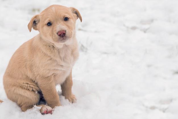 Щенок собака блуждает. щенки золотистого ретривера в снегу