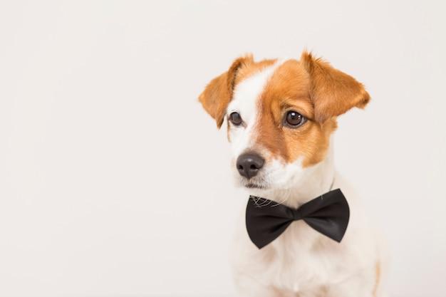 Симпатичная молодая маленькая белая собака в черном галстуке-бабочке