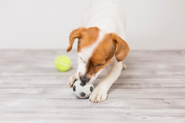 Милая маленькая собака играет с теннисным мячом и весело