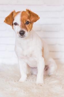 白い毛布の上に座って美しい小型犬の肖像画