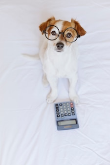 ベッドの上の電卓で考えて、計算するかわいい小型犬会計士
