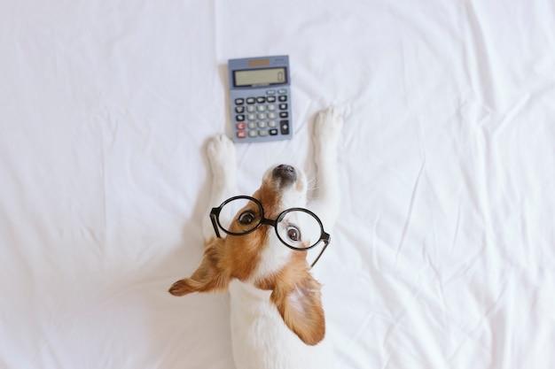 Симпатичная маленькая собака бухгалтер мышления и расчета с калькулятором на кровати