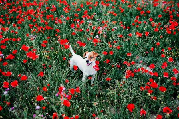 Портрет на открытом воздухе красивый джек рассел стоял в маковое поле