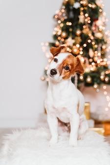 クリスマスツリーで自宅でかわいいジャックラッセル犬
