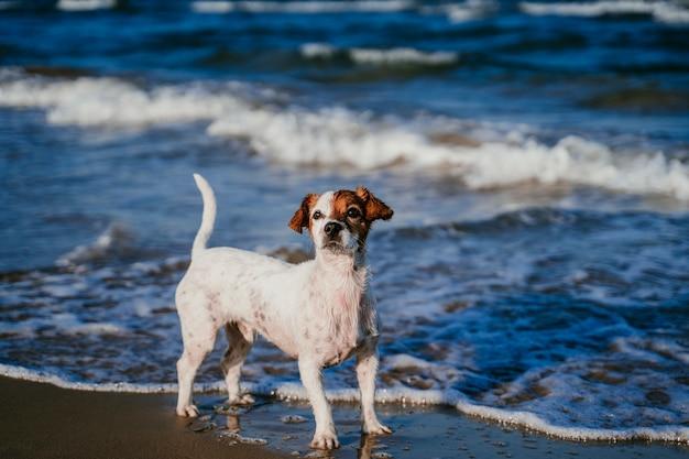 ビーチで走っているかわいい小さなジャックラッセル犬