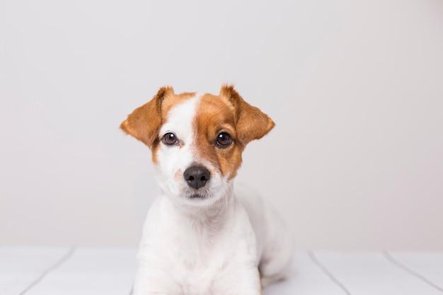 白い木の床に横たわってかわいい若い小型犬の肖像画、