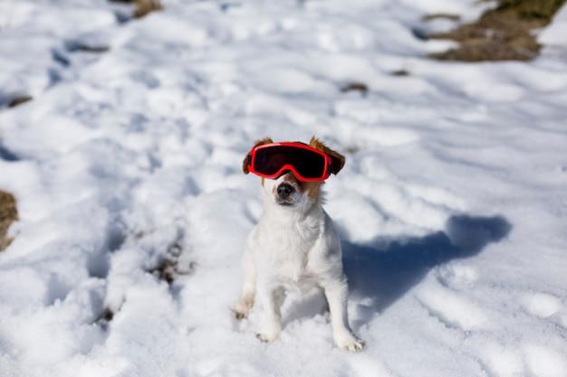 雪の中で赤いスキーゴーグルを身に着けている面白いかわいい小さな犬。晴天。屋外のペット