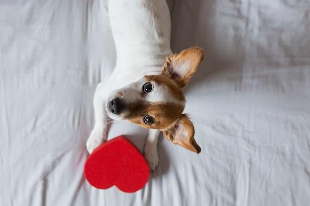 Милая молодая маленькая собака, сидя на кровати с красным сердцем. день святого валентина концепция. домашние животные в помещении