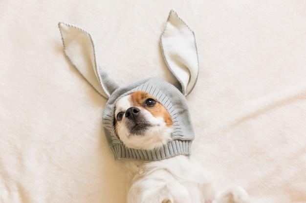 Смешная милая маленькая собака сидит на кровати и с костюмом уши кролика. домашние животные в помещении. вид сверху