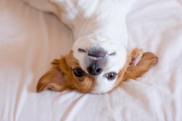 Милая малая собака собака лежа дальше подпирает на кровати - селективный фокус.