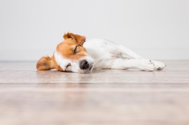 床に横たわって寝ているかわいい小型犬の肖像画。疲れや退屈感。屋内、家庭、ライフスタイルのペット。