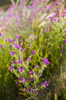 グリーンフィールドの背景の上の紫色の植物のビューを閉じます。自然の概念。晴天。春