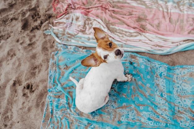 ビーチでかわいい小さなジャックラッセルテリア犬の平面図です。汚れた砂のタオルの上に座って、カメラを見ています。