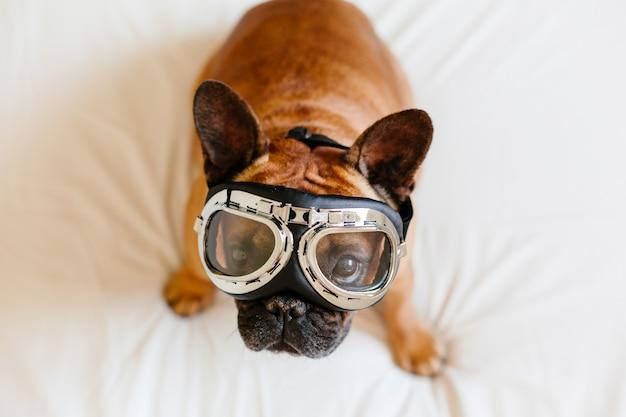 飛行士のゴーグルを着てベッドの上の面白い茶色のフレンチブル犬。旅行のコンセプト。屋内のペットとライフスタイル
