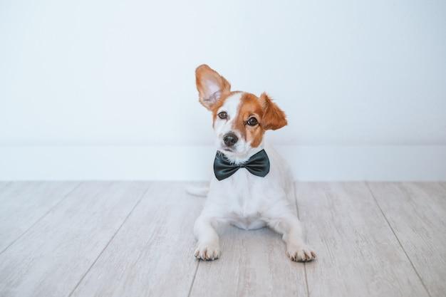床に横たわって、黒のエレガントな蝶ネクタイを着てかわいい小さなジャックラッセル犬。自宅、屋内