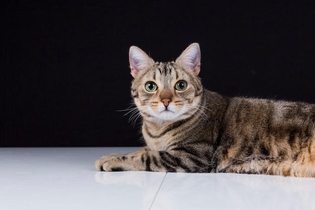 黒の背景に分離された若い美しい猫の肖像画。彼は茶色と黒の毛皮と緑の目をしています。自宅またはスタジオ、屋内。ライフスタイル。