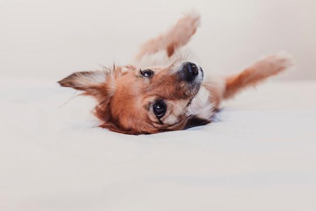 ベッドの上に横たわると休んでいるかわいい犬。朝のコンセプト