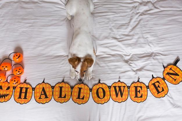 Милая молодая маленькая собака лежа на кровати рядом с предпосылкой венка хеллоуина белая. вид сверху