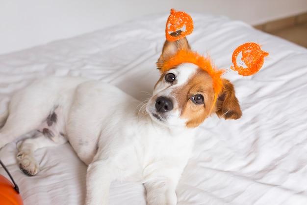 Милая молодая маленькая собака лежа на кровати с костюмом и украшением хеллоуина. домашние животные в помещении.