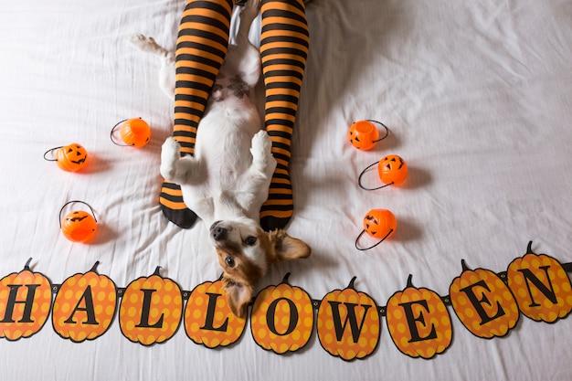黒とオレンジの靴下をはいている飼い主の足の隣のベッドに横たわっているかわいい若い小さな犬。ハロウィーンのコンセプト。上からの眺め