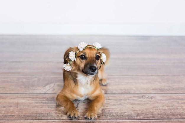 Милая коричневая малая собака нося крону роз над белой предпосылкой. любовь к животным концепции. стиль жизни