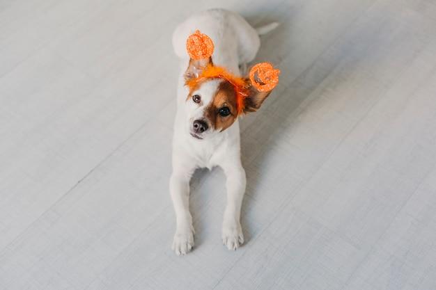 オレンジ色のハロウィーンダイアデムを着て、床で休んでカメラを見てかわいい小さな犬。コンセプト、屋内ライフスタイル