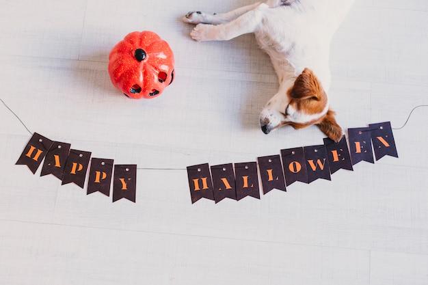 カボチャとハロウィーンの花輪の隣の床に横たわっているかわいい若い小さな白と茶色の犬の平面図。家、ペットを屋内で