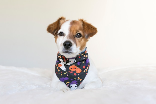 ハロウィーンバンダナとベッドでポーズをとって若いかわいい小型犬の肖像画