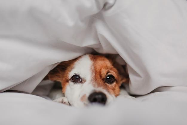 毛布で覆われた自宅のベッドの上のかわいい犬