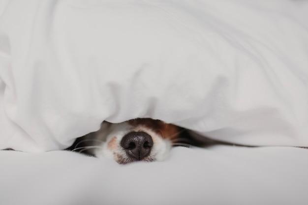 Милая собака на кровати у себя дома покрыта одеялом