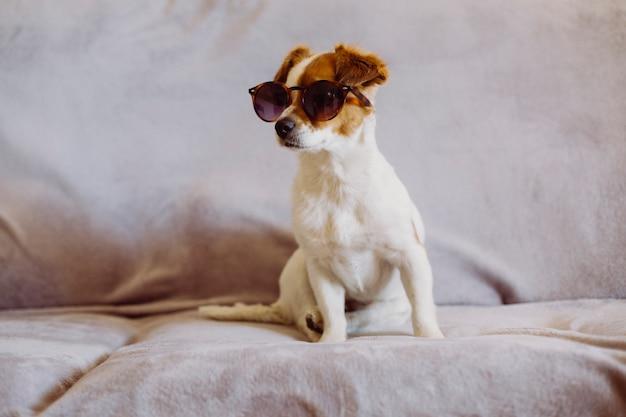 ソファに座ってモダンなサングラスをかけているかわいい小さな犬。灰色の背景。屋内。動物のコンセプトが大好き