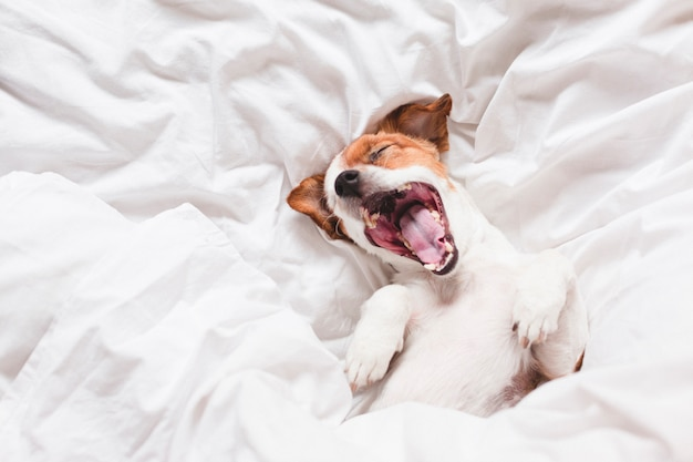 寝ているとベッドの上にあくびかわいい犬