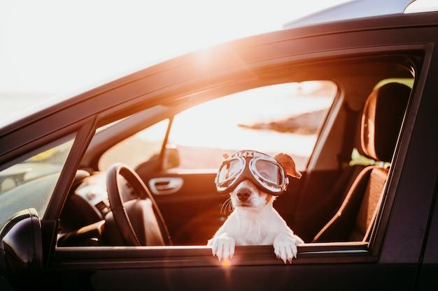 夕暮れ時のビンテージゴーグルを着て車で旅行するかわいい犬