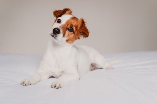 Симпатичная собака джек рассел, лежа на кровати