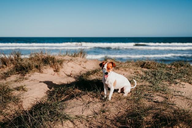 ビーチでかわいい小さなジャックラッセル犬。夕暮れの砂丘に座って