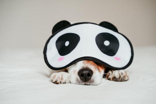 かわいい小さなジャックラッセル犬がベッドに横たわって、面白いパンダ睡眠マスクを着て