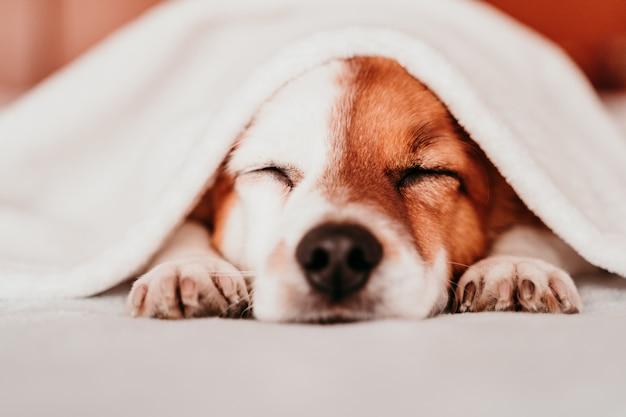 Милая маленькая собака джек рассел отдыхает на кровати в солнечный день, покрытый одеялом