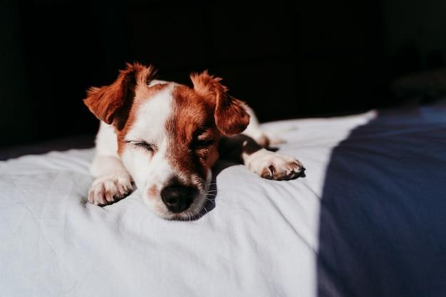 Милая маленькая собака джек рассел отдыхает на кровати в солнечный день